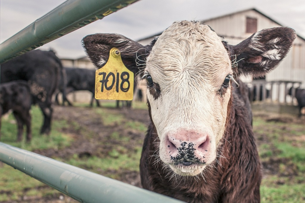 A small beef cattle calf is staring at the camera. Beef industry increases deforestation remarkably. It is not only the production that should be blamed, it is also about the consumption.