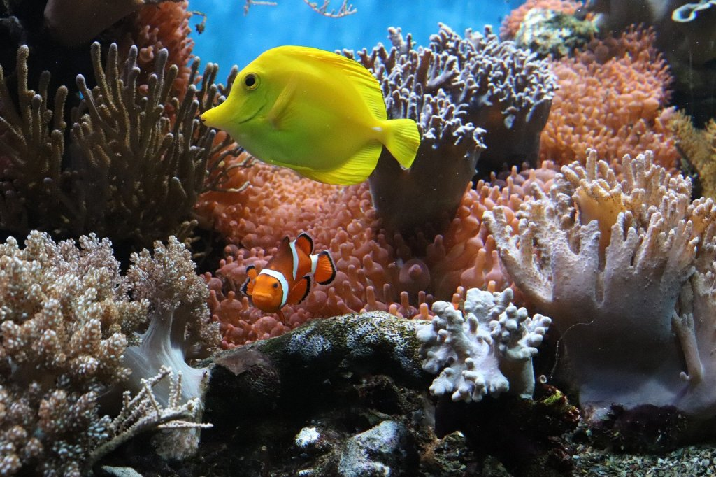 A clown fish and bigger yellow reef fish are swimming at a coral reef. The water is remarkably blue, corals are pink, orange, white, grey and brown. The clown fish, just like Nemo, is turning towards the camera.