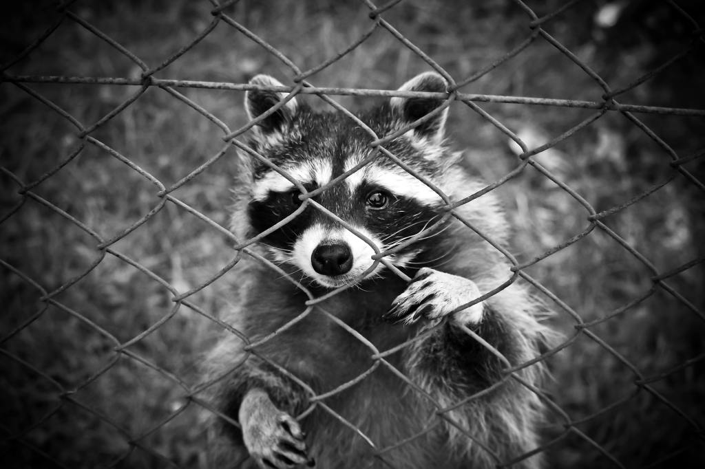 A raccoon is staring at the camera behind a metal fence. By optimizing the waste management and composting, we can avoid animals digging in our trash bins.